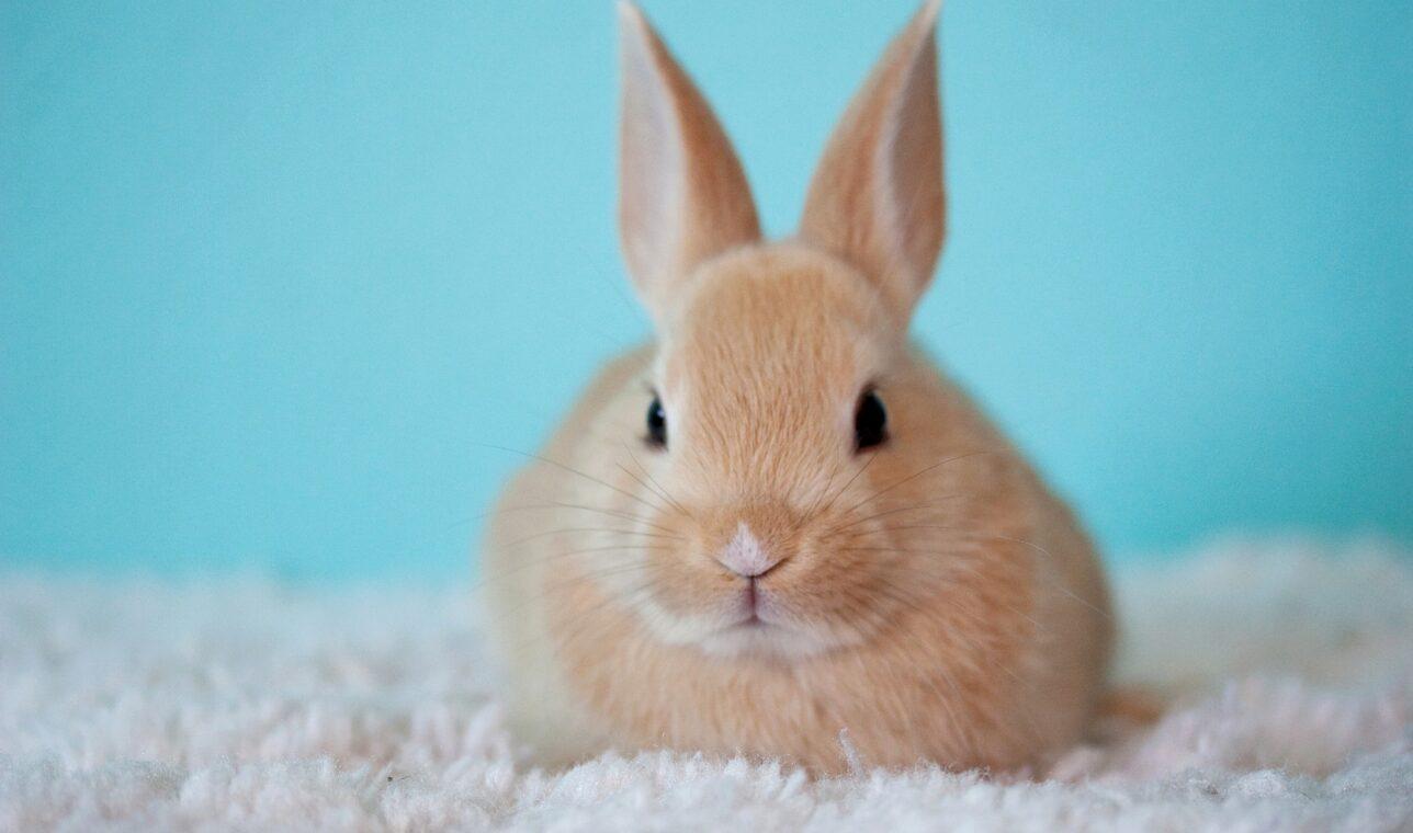 """Kosmetyki testowane na zwierzętach, """"cruelty-free"""" i historia """"króliczka"""""""